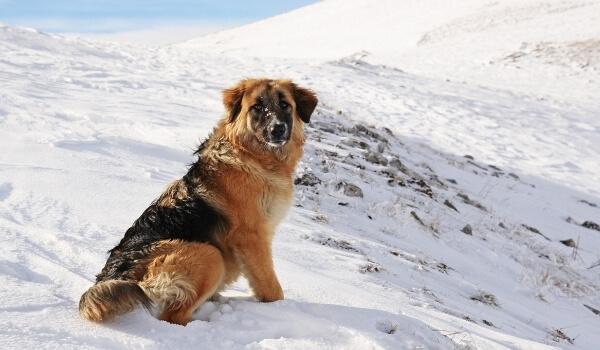 dog snow mountain
